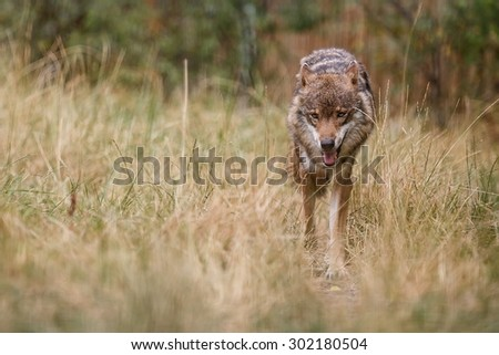 Eurasian wolf in dry grass - stock photo