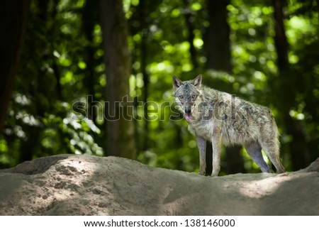 Eurasian wolf in forest looking for food - stock photo