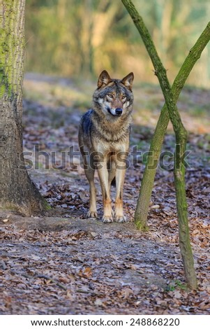 Eurasian wolf is cool - stock photo
