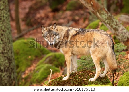 Eurasian wolf is looking to us and standing on the mossy rock