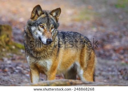 Eurasian wolf looking for something - stock photo