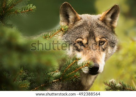 Eurasian wolf nice portrait in detail