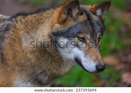 Eurasian wolf portrait - stock photo