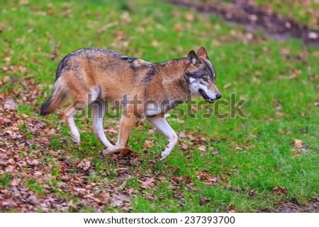 Eurasian wolf walk to prey - stock photo