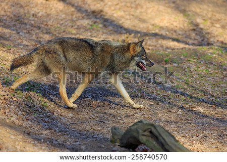 Eurasian wolf walking around - stock photo