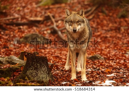 Eurasian wolf with colorful autumn orange leaves