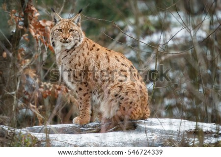 animals in danger lynx in europe The european lynx is a feline with camels and roe deer) absent this type of animals they will the lynx is currently in danger of extinction in europe.
