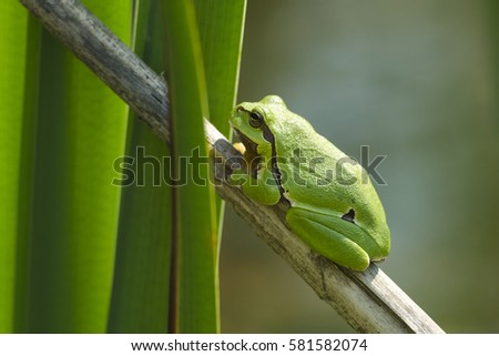 Europaean tree frog Hyla arborea emerging from water onto dry reed-mace leaf in natural background
