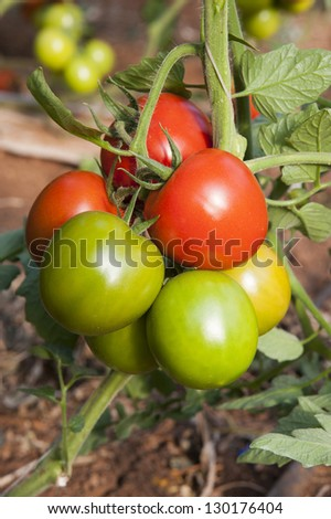 europe, italy, sicily, red and green tomatoes ripening in a greenhouse - stock photo