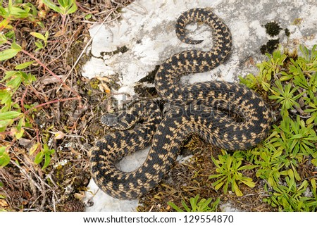European adder (Vipera berus) dorsal pattern view - stock photo