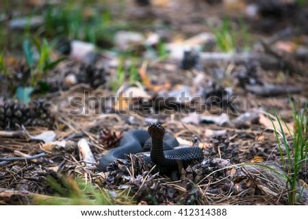 European adder. Wild life animal - stock photo