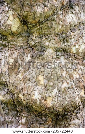 European ash (Fraxinus excelsior) - detail view of tree bark. - stock photo