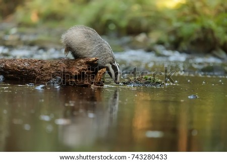 European badger is drinking from forest cfeeek