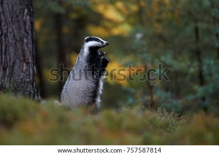 European badger, Meles meles, low angle photo, animal standing on back legs, sniffing the air. Czech highland, pine forest.