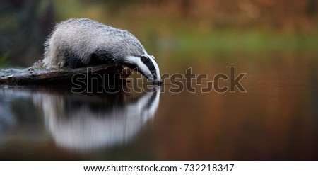 European badger, Meles meles, low angle photo of big male in rainy day, drinking from forest lake, reflecting itself in calm water surface. Autumn in czech highlands. Isolated badger drinking water.