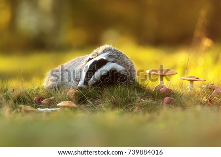 stock-photo-european-badger-with-autumn-
