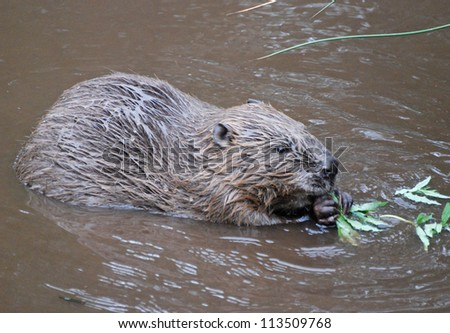 European Beaver, Scotland, UK