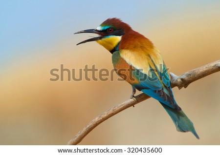 European Bee-Eater - stock photo