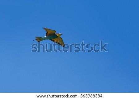 European bee-eater flying - stock photo