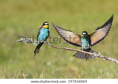 European Bee-Eater Merops apiaster - stock photo
