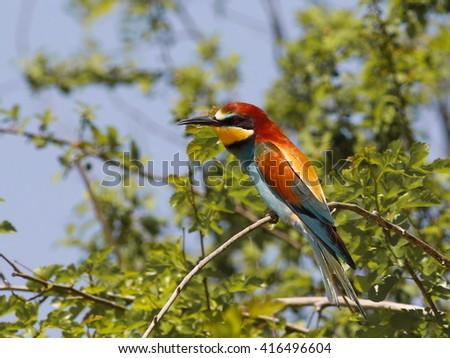 European bee-eater, Merops apiaster - stock photo