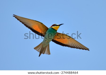 european bee-eater (Merops Apiaster) flying - stock photo