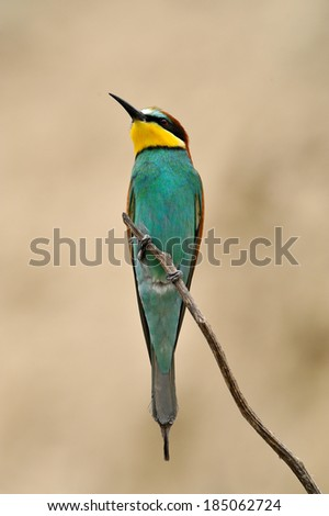 european bee-eater (Merops Apiaster) in natural habitat - stock photo