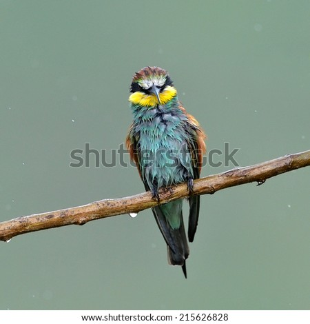 european bee-eater (Merops Apiaster) in natural habitat in rainy day - stock photo