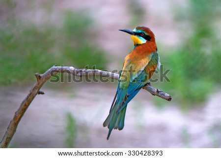 European bee-eater ( Merops apiaster ) is sitting on a twig