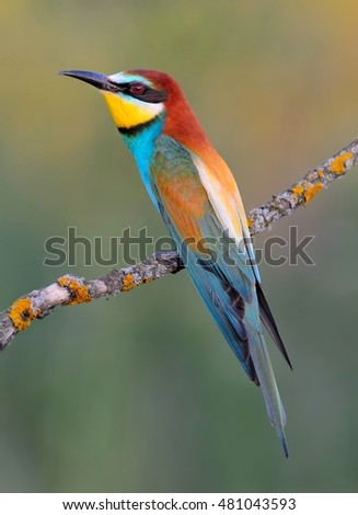 European bee-eater (Merops apiaster) on the branch