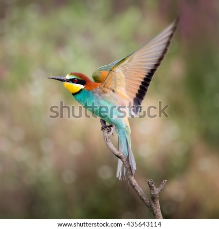 European bee-eater ( Merops Apiaster ) takin-off the branch. Blurry background - stock photo