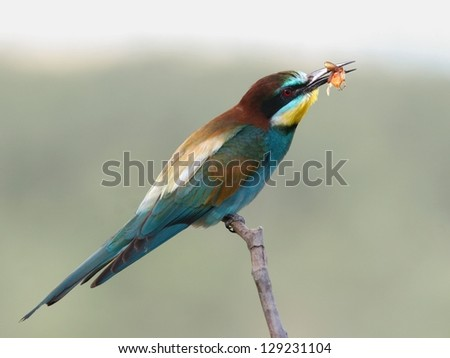 European bee-eater perched on a twig, with an insect in bill