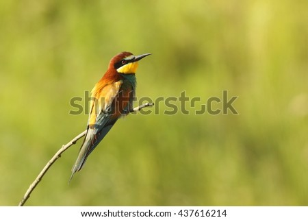 european bee eater perched on twig over green out of focus background ( Merops apiaster ) - stock photo