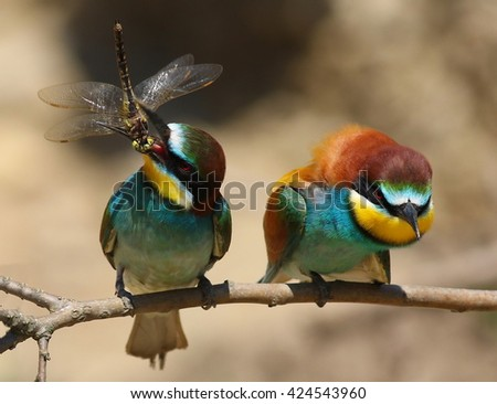 European bee-eater with Dragonfly, Merops apiaster - stock photo