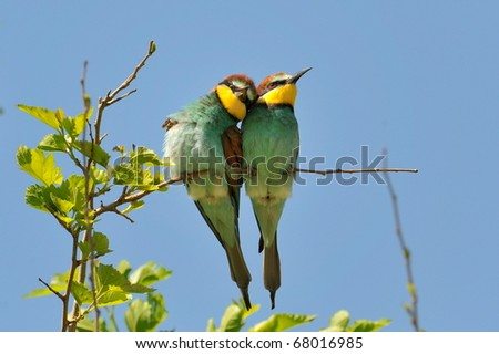 european bee-eaters (Merops Apiaster) outdoor - stock photo