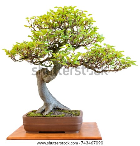 European beech as harmonious bonsai tree white isolated