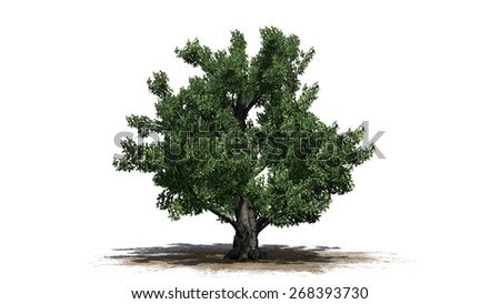 European Beech - tree on white background