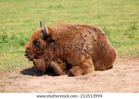 European Bison, also called the Wisent laying on the ground - stock photo