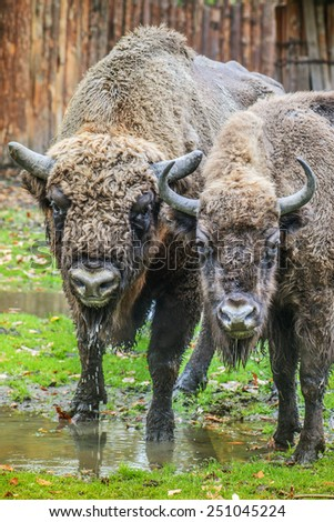 European bison, also known as wisent or the European wood bison, is Eurasian species of bison. It is one of two extant species of bison, alongside American bison. - stock photo