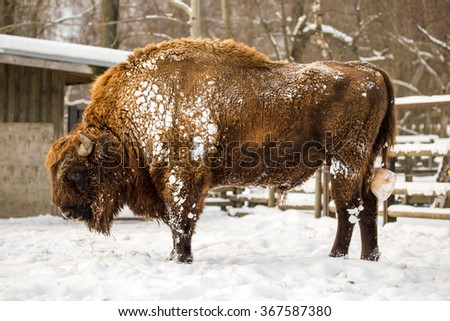 European bison (Bison bonasus) - stock photo