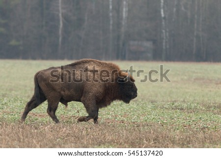 European bison - Bison bonasus in the Knyszyn Forest (Poland)