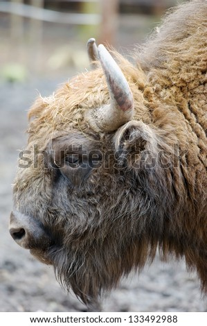 European bison head shot - stock photo