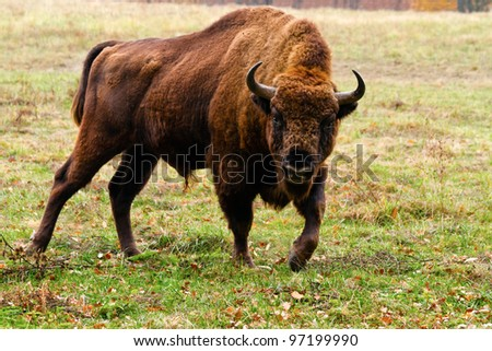 European bison in Autumn,  Latin: Bison bonasus