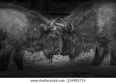 European bison in duel black and white - stock photo