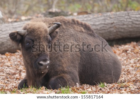European Bison laid down