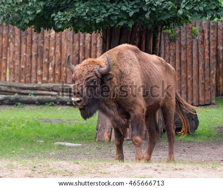 European Bison. Large male bison in the zoo. Wonderful big animals.