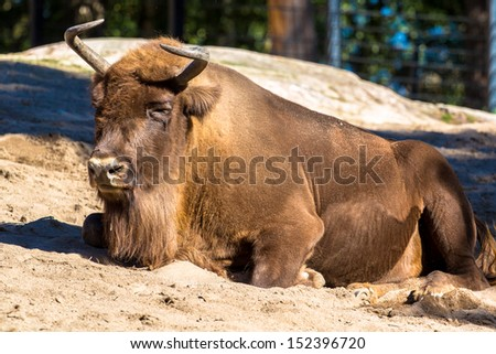 European bison lying on the ground (wisent) - stock photo