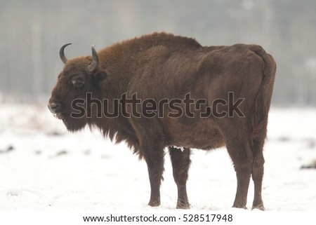 European bison - Poland national Parks