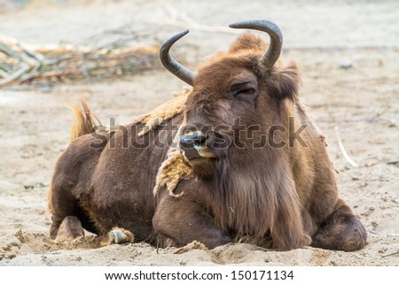 European bison (wisent) lying on the ground - stock photo