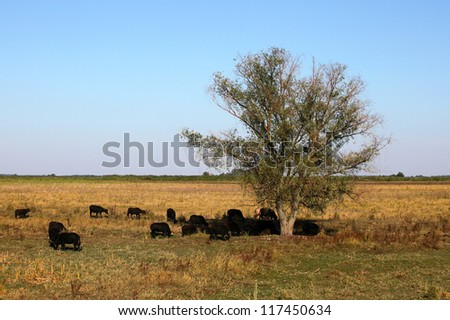 European bisons grazing and resting in a tree's shadow in the wilderness at a hot summer day. - stock photo